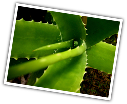 aloe vera Chemical composition